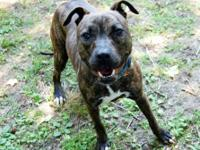 Pit Bull Terrier - Patches - Medium - Young - Female -