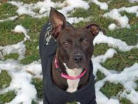 Pit Bull Terrier - Patience - Medium - Young - Female -