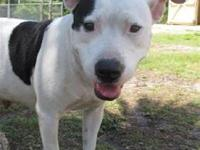 Pit Bull Terrier - Phaedra - Medium - Adult - Female -