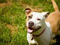 Pit Bull Terrier - Piggie - Medium - Adult - Female -