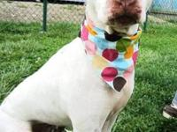 Pit Bull Terrier - Pixie - Foster - Medium - Adult -