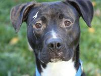 Pit Bull Terrier - Pogo - Medium - Young - Male - Dog