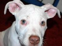 Pit Bull Terrier - Popsicle *deaf* - Large - Baby -