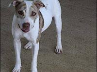 Pit Bull Terrier - Porscha - Medium - Young - Female -