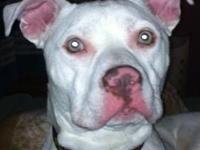 Pit Bull Terrier - Powder - Large - Young - Male - Dog