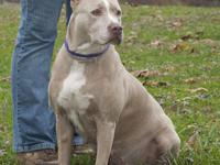 Pit Bull Terrier - Precious - Large - Adult - Female -