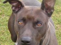 Pit Bull Terrier - Precious - Medium - Adult - Female -