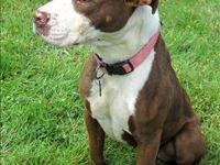 Pit Bull Terrier - Precious - Medium - Young - Female -