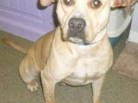 Pit Bull Terrier - Prime Time (pt) - Large - Young -