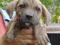 Pit Bull Terrier - Puppies- Not At Clinic/ Foster -