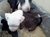 I have 3 pit bull pups that need to find their forever