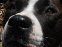 Pit Bull Terrier - Rascal - Medium - Young - Male -