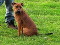 Pit Bull Terrier - Redford Aka Red - Medium - Young -