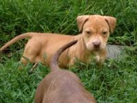 Pit Bull Terrier - Reed And Ella - Large - Baby - Male