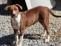 Pit Bull Terrier - Rescued Pit - Medium - Young -