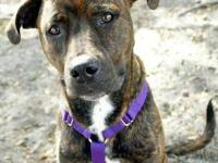Pit Bull Terrier - Riley - Medium - Young - Female -