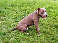 Pit Bull Terrier - Rocco - Medium - Adult - Male - Dog