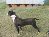 Pit Bull Terrier - Rocky - Large - Adult - Male - Dog