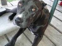 Pit Bull Terrier - Rocky - Medium - Young - Male - Dog