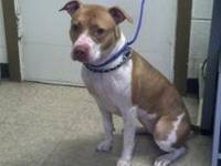 Pit Bull Terrier - Rosie - Medium - Young - Female -