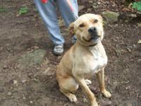 Pit Bull Terrier - Roxie - Medium - Young - Female -
