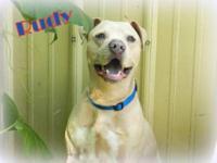 Pit Bull Terrier - Rudy - Medium - Adult - Male - Dog