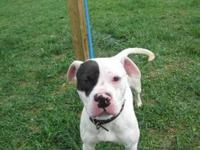 Pit Bull Terrier - Rufus - Large - Young - Male - Dog