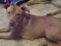 Pit Bull Terrier - Sally - Medium - Young - Female -
