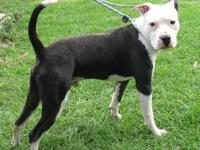 Pit Bull Terrier - Sammy - Large - Adult - Male - Dog