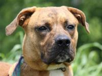 Pit Bull Terrier - Sampson - Medium - Young - Male -
