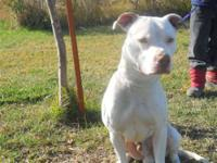 Pit Bull Terrier - Santana - Foster Home Needed - Large