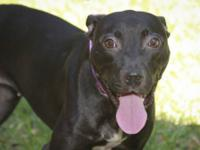 Pit Bull Terrier - Sarah - Medium - Adult - Female -