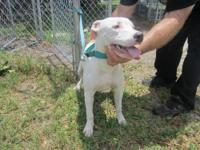 Pit Bull Terrier - Sarah - Medium - Young - Female -
