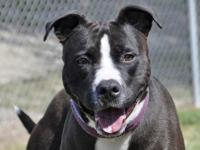 Pit Bull Terrier - Sheila - Large - Adult - Female -