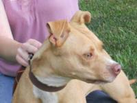 Pit Bull Terrier - Shelby - Large - Young - Female -