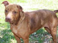 Pit Bull Terrier - Shelly - Medium - Adult - Female -