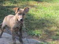 Pit Bull Terrier - Shiloh - Medium - Young - Female -