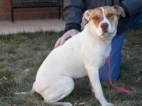 Pit Bull Terrier - Shyla Snickers - Medium - Adult -