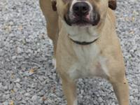 Pit Bull Terrier - Single Lady: Lucy - Medium - Adult -