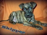 Pit Bull Terrier - Skipper Adba Registered - Large -