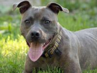 Pit Bull Terrier - Smoke - Medium - Young - Male - Dog