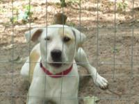 Pit Bull Terrier - Sophie - Medium - Young - Female -
