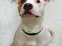 Pit Bull Terrier - Spencer - Medium - Young - Male -