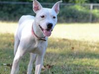 Pit Bull Terrier - Sprinkles - Medium - Young - Female