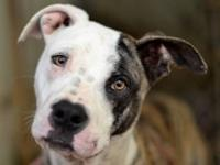 Pit Bull Terrier - Spud - Large - Adult - Male - Dog