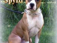 Pit Bull Terrier - Spyro - Large - Adult - Male - Dog