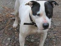 Pit Bull Terrier - Starlet - Medium - Adult - Female -