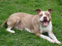 Pit Bull Terrier - Strawberry - Medium - Adult - Female