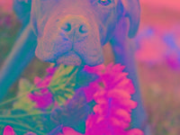 Pit Bull Terrier - Strutter - Large - Young - Male -