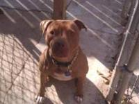 Pit Bull Terrier - Sugar - Large - Adult - Female -